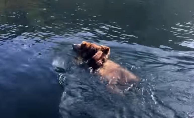 子グマを背負って泳ぐ母グマ