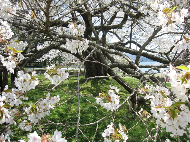 箱根園の大島桜
